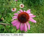Цветок эхинацеи пурпурной. Стоковое фото, фотограф Нина Солнцева / Фотобанк Лори