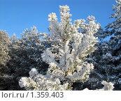 Снег на сосне. Стоковое фото, фотограф Вересов Сергей Николаевич / Фотобанк Лори