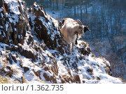 Козы на обрыве. Стоковое фото, фотограф Константин Мартынов / Фотобанк Лори