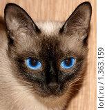 Купить «Портрет сиамской кошечки», фото № 1363159, снято 8 января 2010 г. (c) Татьяна Федулова / Фотобанк Лори