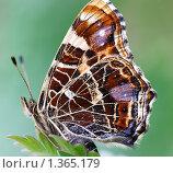 Купить «Бабочка Пестрокрыльница изменчивая (Araschnia levana) - Макро фото», фото № 1365179, снято 9 мая 2005 г. (c) Виктор Савушкин / Фотобанк Лори