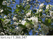 Цветущая ветка яблони. Стоковое фото, фотограф Tatyana Kubasova / Фотобанк Лори