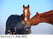 Купить «Две лошади», фото № 1366403, снято 11 января 2010 г. (c) Яна Королёва / Фотобанк Лори