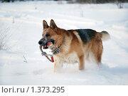 Купить «Овчарка играет на зимней прогулке», фото № 1373295, снято 3 января 2010 г. (c) Анастасия Некрасова / Фотобанк Лори