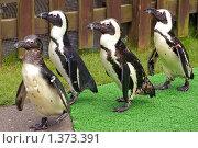 Купить «Птенцы королевского пингвина», фото № 1373391, снято 28 июля 2009 г. (c) RedTC / Фотобанк Лори