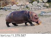 Бегемот в зоопарке. Стоковое фото, фотограф Бурдина Мария / Фотобанк Лори