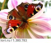 Купить «Бабочка павлиний глаз на цветке», фото № 1380783, снято 25 июня 2019 г. (c) Елена Боброва / Фотобанк Лори