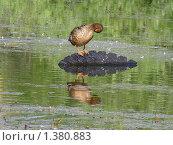 Купить «Утка», эксклюзивное фото № 1380883, снято 29 июня 2009 г. (c) lana1501 / Фотобанк Лори