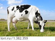 Купить «Корова на лугу», фото № 1382359, снято 16 октября 2009 г. (c) Дмитрий Калиновский / Фотобанк Лори