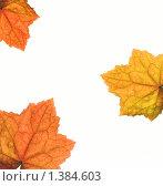 Осенние листья на белом фоне. Стоковое фото, фотограф Andrejs Pidjass / Фотобанк Лори