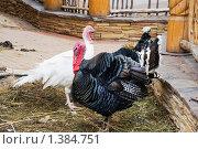 Купить «Индюки», эксклюзивное фото № 1384751, снято 28 июня 2009 г. (c) Александр Щепин / Фотобанк Лори