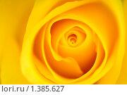 Роза. Макро. Стоковое фото, фотограф Виталий Радунцев / Фотобанк Лори