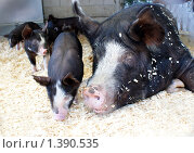 Беркширская свинья. Стоковое фото, фотограф Nataliya Sabins / Фотобанк Лори