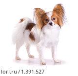 Купить «Собака породы папильон», фото № 1391527, снято 15 января 2010 г. (c) Сергей Лаврентьев / Фотобанк Лори