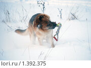 Купить «Овчарка играет на зимней прогулке», фото № 1392375, снято 3 января 2010 г. (c) Анастасия Некрасова / Фотобанк Лори