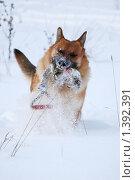 Купить «Овчарка играет на зимней прогулке», фото № 1392391, снято 3 января 2010 г. (c) Анастасия Некрасова / Фотобанк Лори