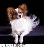 Купить «Собака породы папильон», фото № 1392671, снято 15 января 2010 г. (c) Сергей Лаврентьев / Фотобанк Лори