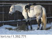 Купить «Лошадь серой (седой) масти», фото № 1392771, снято 16 января 2010 г. (c) Яременко Екатерина / Фотобанк Лори