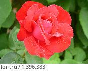 Роза, украшение сада. Стоковое фото, фотограф Виктор Вуколов / Фотобанк Лори