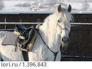 Купить «Лошадь серой (седой) масти», фото № 1396843, снято 16 января 2010 г. (c) Яременко Екатерина / Фотобанк Лори