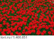 Купить «Красные  тюльпаны», фото № 1400851, снято 9 мая 2009 г. (c) Алёшина Оксана / Фотобанк Лори