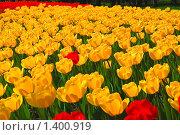 Купить «Красные и желтые тюльпаны», фото № 1400919, снято 9 мая 2009 г. (c) Алёшина Оксана / Фотобанк Лори
