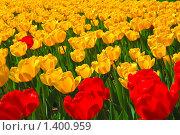 Купить «Красные и желтые тюльпаны», фото № 1400959, снято 9 мая 2009 г. (c) Алёшина Оксана / Фотобанк Лори
