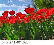Купить «Красные  тюльпаны», фото № 1401023, снято 9 мая 2009 г. (c) Алёшина Оксана / Фотобанк Лори