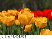 Купить «Желтые и красные  тюльпаны», фото № 1401031, снято 9 мая 2009 г. (c) Алёшина Оксана / Фотобанк Лори