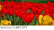 Купить «Красные  тюльпаны», фото № 1401071, снято 9 мая 2009 г. (c) Алёшина Оксана / Фотобанк Лори