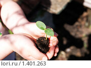 Маленькое зеленое растение в детских ладошках. Стоковое фото, фотограф Татьяна Емшанова / Фотобанк Лори