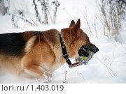 Купить «Овчарка играет на зимней прогулке», фото № 1403019, снято 3 января 2010 г. (c) Анастасия Некрасова / Фотобанк Лори