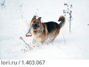 Купить «Овчарка играет на зимней прогулке», фото № 1403067, снято 3 января 2010 г. (c) Анастасия Некрасова / Фотобанк Лори