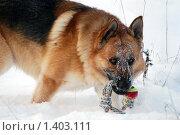 Купить «Овчарка играет на зимней прогулке», фото № 1403111, снято 3 января 2010 г. (c) Анастасия Некрасова / Фотобанк Лори