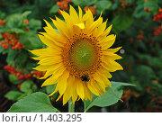 Купить «Подсолнух», эксклюзивное фото № 1403295, снято 1 августа 2009 г. (c) lana1501 / Фотобанк Лори