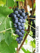 Купить «Кисть синего винограда на ветке», фото № 1403595, снято 21 августа 2009 г. (c) Галина Онищенко / Фотобанк Лори