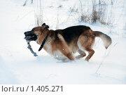 Купить «Овчарка играет на зимней прогулке», фото № 1405271, снято 3 января 2010 г. (c) Анастасия Некрасова / Фотобанк Лори