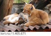 Купить «Рысь с детенышем. Новосибирский зоопарк», фото № 1405671, снято 9 сентября 2008 г. (c) Юрий Бульший / Фотобанк Лори