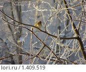 Купить «Воробей в ветвях зимнего леса», фото № 1409519, снято 24 января 2010 г. (c) Емельянова Светлана Александровна / Фотобанк Лори