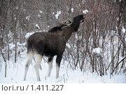 Купить «Молодой лось в зимнем лесу», фото № 1411227, снято 22 января 2010 г. (c) Сергей Орлов / Фотобанк Лори