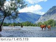 Купить «Стадо коров в горной реке», фото № 1415119, снято 15 июля 2009 г. (c) Яна Королёва / Фотобанк Лори