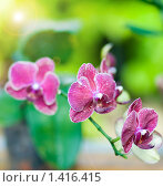 Купить «Орхидеи», фото № 1416415, снято 27 мая 2009 г. (c) Вероника Галкина / Фотобанк Лори