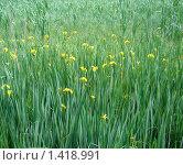 Желтые болотные ирисы. Стоковое фото, фотограф Нина Солнцева / Фотобанк Лори