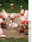 Фламинго. Стоковое фото, фотограф Наталья Перекот / Фотобанк Лори