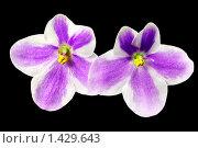 Купить «Цветы фиалки на черном фоне», иллюстрация № 1429643 (c) ElenArt / Фотобанк Лори
