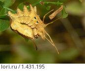Бабочки, буковый вилохвост. Стоковое фото, фотограф Ольга Натальская / Фотобанк Лори