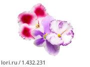 Купить «Цветы фиалки разных сортов», фото № 1432231, снято 26 октября 2009 г. (c) ElenArt / Фотобанк Лори