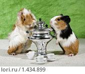 Морские свинки. Стоковое фото, фотограф Толоконов Дмитрий Львович / Фотобанк Лори