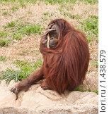 Купить «Задумчивый орангутан, затыкающая пальцем источник воды», фото № 1438579, снято 27 марта 2009 г. (c) Ирина Кожемякина / Фотобанк Лори