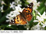 Бабочка репейница, или чертополоховка. Стоковое фото, фотограф Ilya Tikhanovsky / Фотобанк Лори